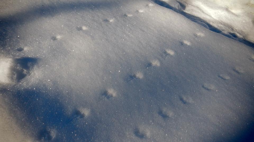 野ネズミの足跡