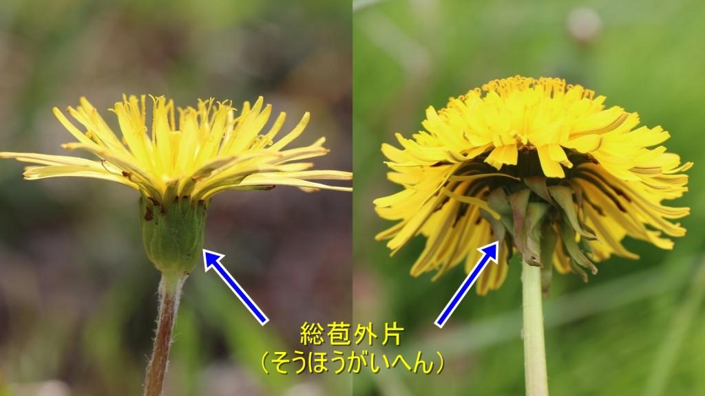 タンポポ在来種と外来種の違い